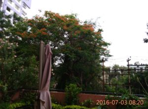 The gulmohar right outside my window.